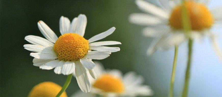 Cómo Cultivar Manzanilla Orgánica en tu Casa 1